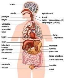 internal_organs
