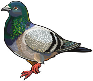 pigeon_png_clipart-671